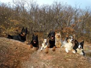 Két gazdához tartoznak a képen látható kutyák, ekkora falkánál már elengedhetetlen az engedelmesség!