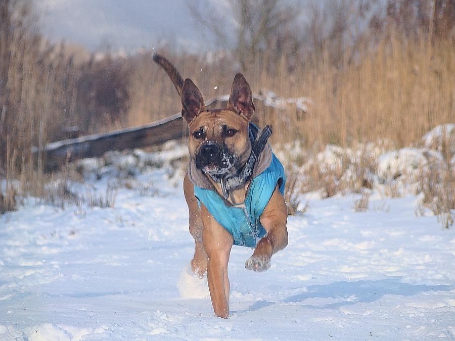 Nem kell kicsinek lennie ahhoz, hogy fázzon a hidegben, nagyobb testű kutyák is értékelni tudják a kabátot