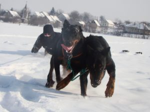 Húzóhám + edzett kutyák